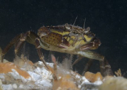 Shore crab. Menai straits. D200, 60mm. by Derek Haslam 